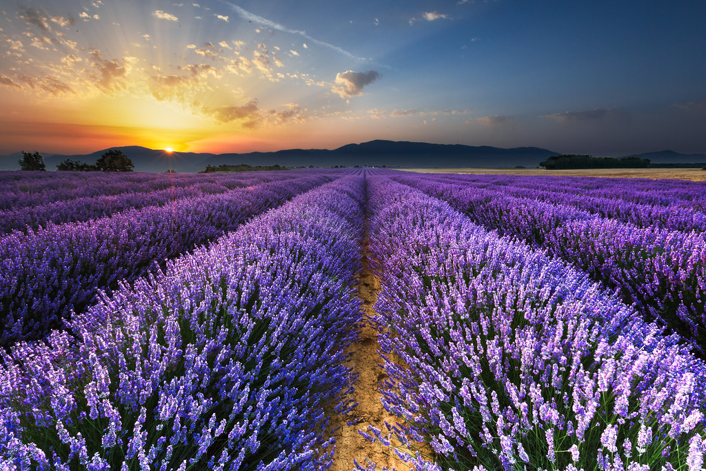 Sunrise on the Lavender Fields in Valensole in Provence