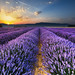 Sunrise on the Lavender Fields in Valensole in Provence by Loïc Lagarde