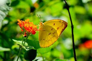 黃斑型黃蝶。(攝影:許書國)