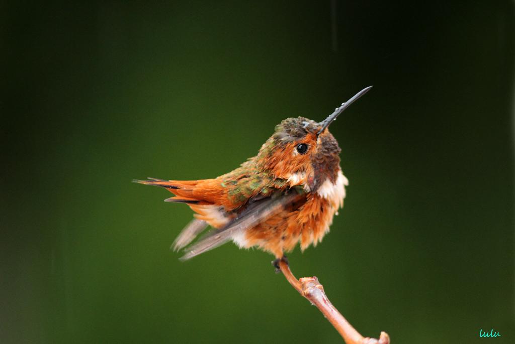 Allen's Hummigbird 200715