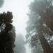 Redwoods by laura zalenga