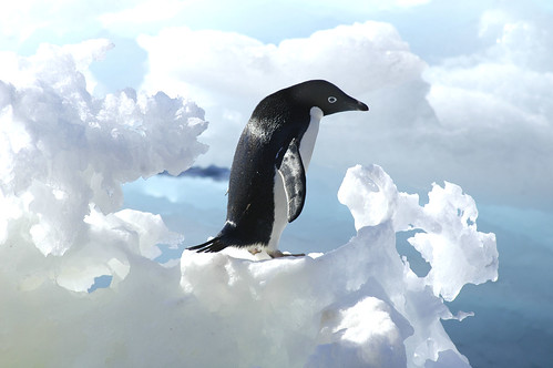 Adelie Penguin (Pygoscelis Adeliae) on iceberg, Antarctic Peninsula