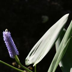 Fleur des Tropiques