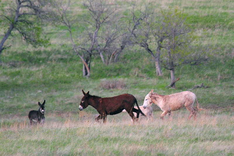 IMG_0052 Burros, Custer State Park