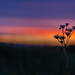 twilight flowers by SleepyHumptyDumpty (Sleepy)