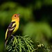 Western Tanager (resized) by Blingsister