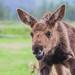 Moose calf by alexander.howard11