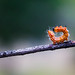 Small photo of Spotted datana caterpillar