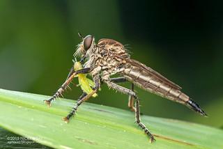 Robberfly (Asilidae) - DSC_3381