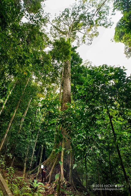 World's tallest tropical tree (Shorea faguetiana) - DSC_4853