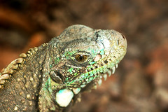 animal, reptile, lizard, macro photography, fauna, close-up, lacerta, scaled reptile, wildlife,