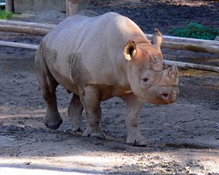 animal, zoo, rhinoceros, fauna,