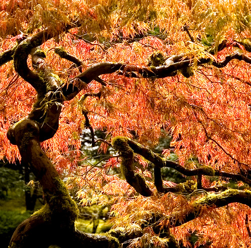 Fresh Japanese Maple