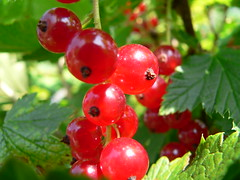 shrub, berry, red, plant, produce, fruit, food, lingonberry,