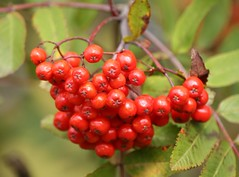 berry, red, plant, macro photography, flora, fruit, currant, rowan,