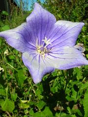flower(1.0), plant(1.0), harebell(1.0), wildflower(1.0), flora(1.0), bellflower(1.0), petal(1.0),