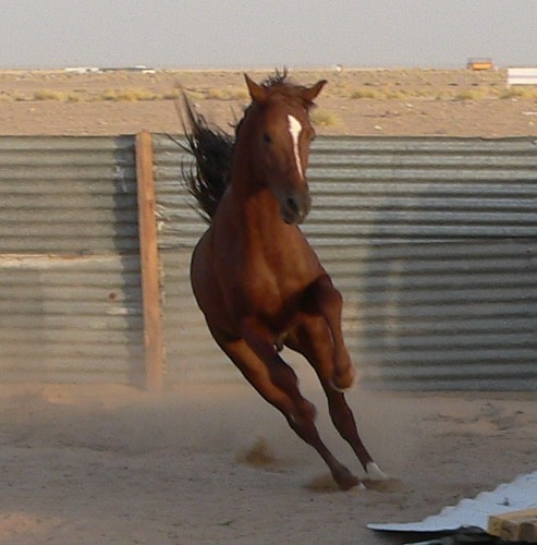 An action shot of a horse in an arena