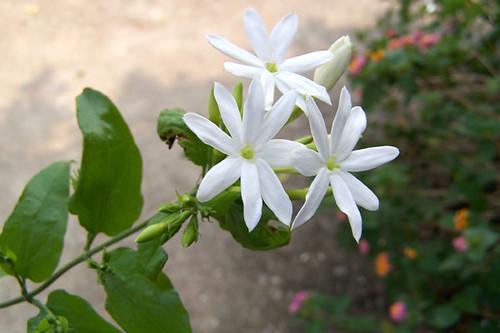 Jasminum amplexicaule per Ray Cui a Flickr