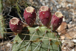 GC Prickly Pear Cactus