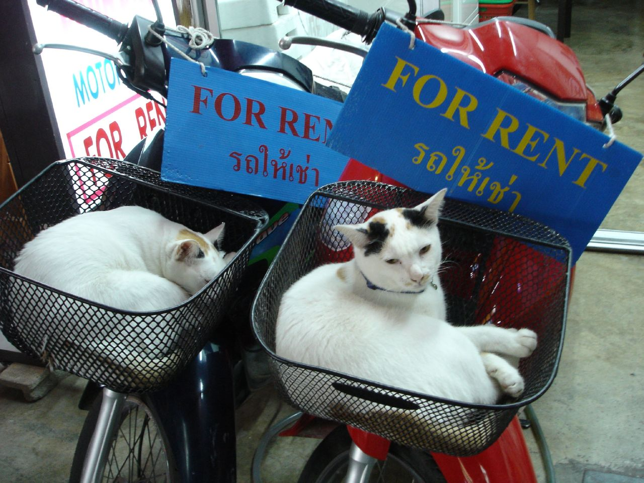 Cute kitties in Bangkok, Thailand
