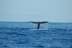 Diving spermwhale