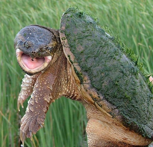 snapping turtle by ricmcarthur