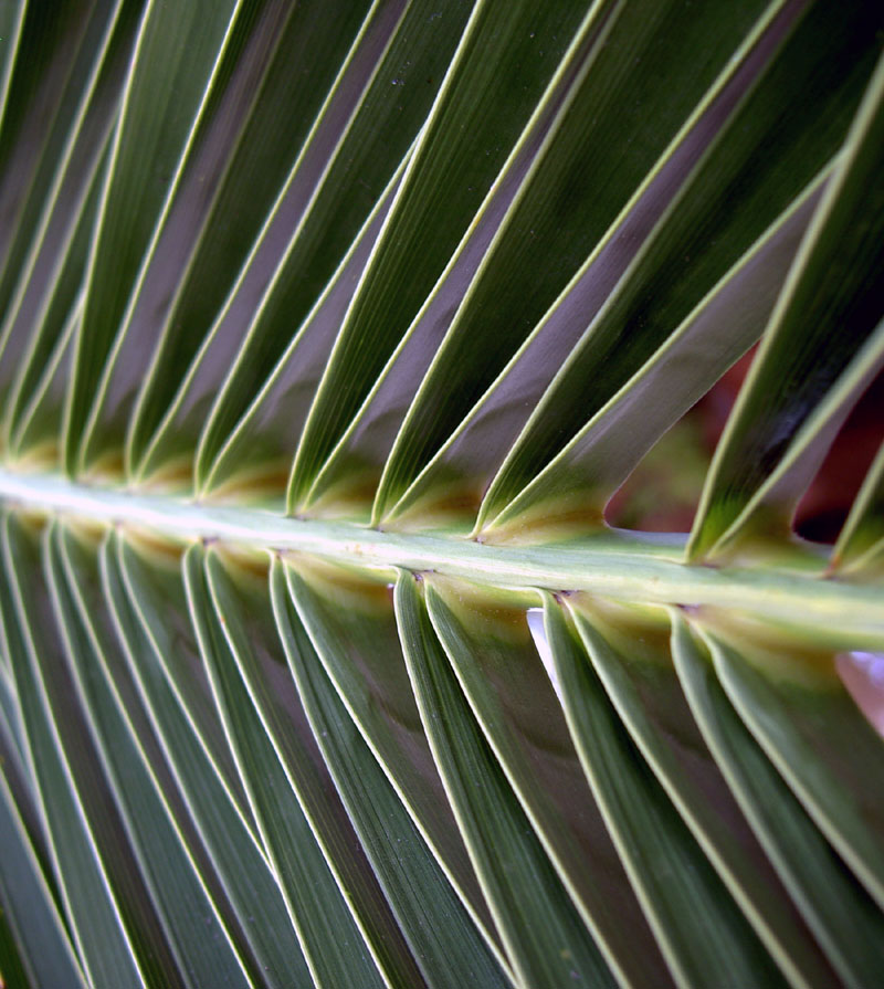 Palm Frond, Claypool, AZ