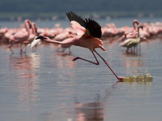 Flamencos en el Parque Nacional del Lago Nakuru