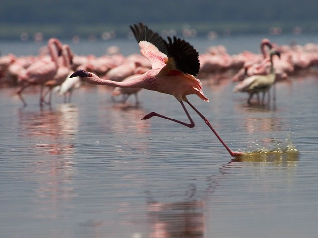 Parque Nacional Lago Nakuru. Kenia.