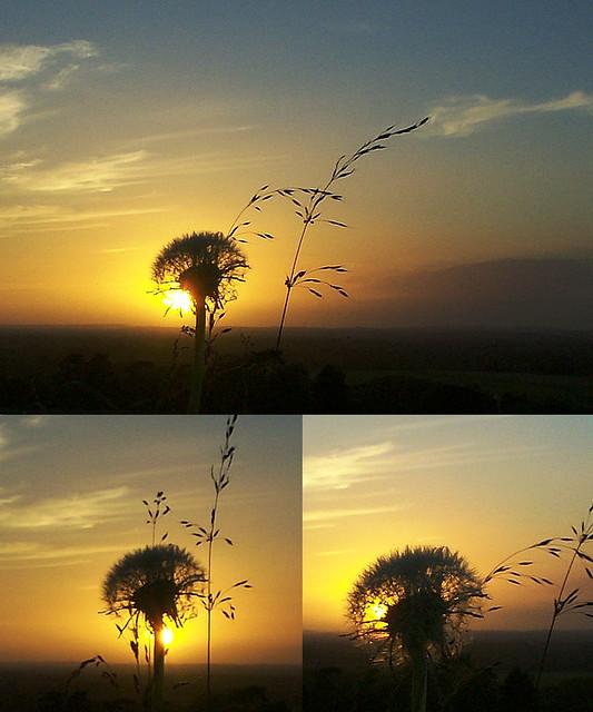 dandelion sunset related keywords - photo #37