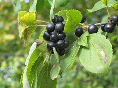 berry, branch, tree, chokecherry, chokeberry, fruit, currant,