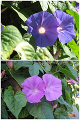 morning glory color shift