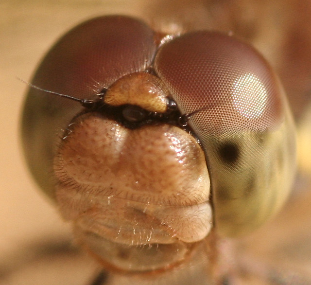 happy dragonfly - bug eyed with designer stubble
