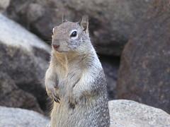 animal(1.0), squirrel(1.0), fox squirrel(1.0), rodent(1.0), prairie dog(1.0), fauna(1.0), marmot(1.0), whiskers(1.0), wildlife(1.0),