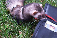 animal, weasel, mustelidae, mammal, fauna, polecat, ferret,