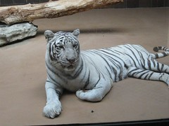 White Tiger @ Omaha's Zoo