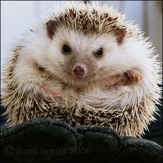 a little ball of African hedgehog