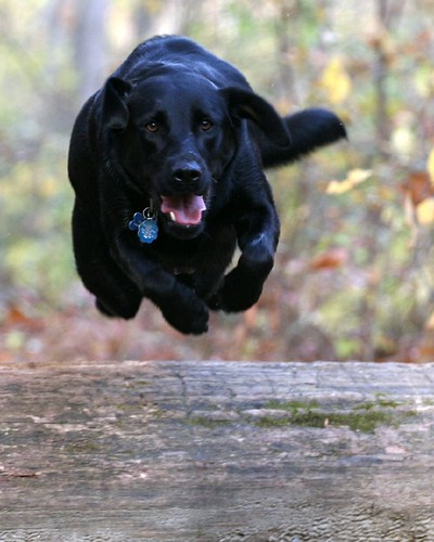 black Labrador 'Sierra' aerial jump
