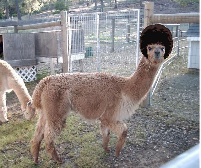 Llamas With Afros La llama Afro  ...