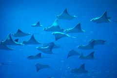 shark(0.0), requiem shark(0.0), tiger shark(0.0), animal(1.0), manta ray(1.0), fish(1.0), marine biology(1.0), cartilaginous fish(1.0),