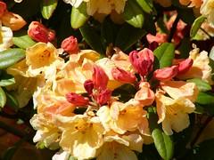 flower, leaf, yellow, flora, floristry, petal, azalea,