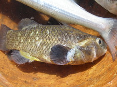 tilapia(0.0), bass(0.0), trout(0.0), perch(0.0), cod(0.0), common rudd(0.0), animal(1.0), fish(1.0), fish(1.0), milkfish(1.0),