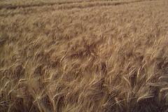 straw(0.0), barley(0.0), soil(0.0), grass(0.0), grassland(0.0), hordeum(1.0), prairie(1.0), agriculture(1.0), triticale(1.0), einkorn wheat(1.0), rye(1.0), food grain(1.0), field(1.0), wheat(1.0), plant(1.0), food(1.0), crop(1.0), cereal(1.0),