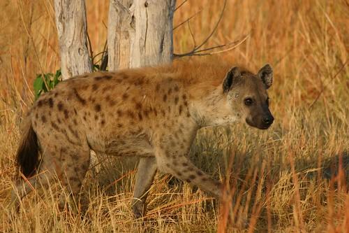 Go on wildlife safari through Delta Rain  - Things to do in Maun
