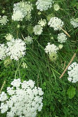 apiales, yarrow, flower, cow parsley, cicely, plant, subshrub, anthriscus, flora, produce, meadowsweet,