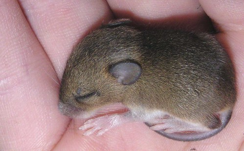 ssttt! little baby-mouse, sleeping on my hand