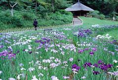 花菖蒲, 明治神宮 Iris, Meiji Jingu shrine