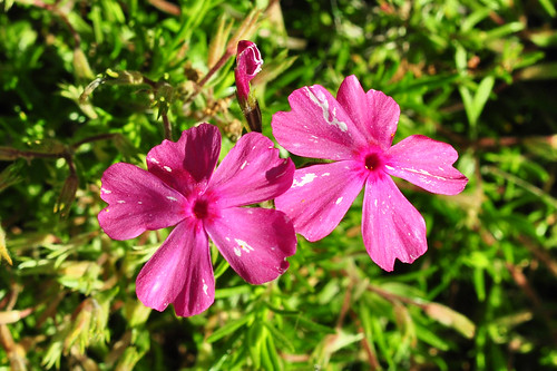 Odenwald Juni 2015 Wildkräuter Blüte Foto Brigitte Stolle