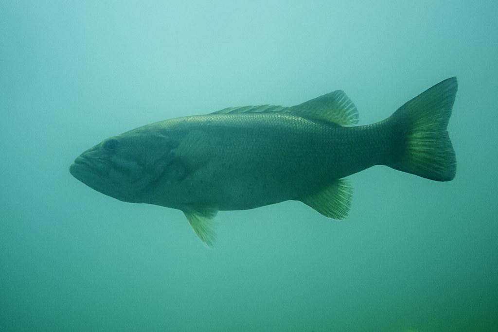 Largemouth bass (?)