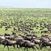 Blue Wildebeest and Plains Zebra